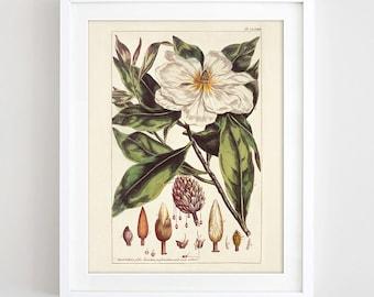 Magnolia Print Printable Botanical Poster Magnolia Plant Art Vintage Magnolia Flower Wall Art Herb Print Nature Home Decor Digital Download