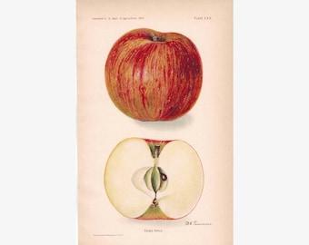Ensee Apple Antique Fruit Print 1907