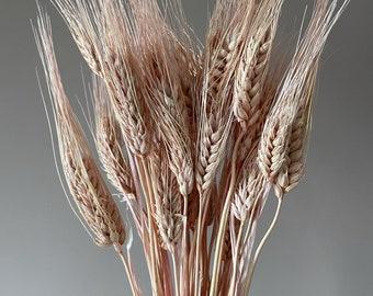 Triticum rose pink  dried wheat
