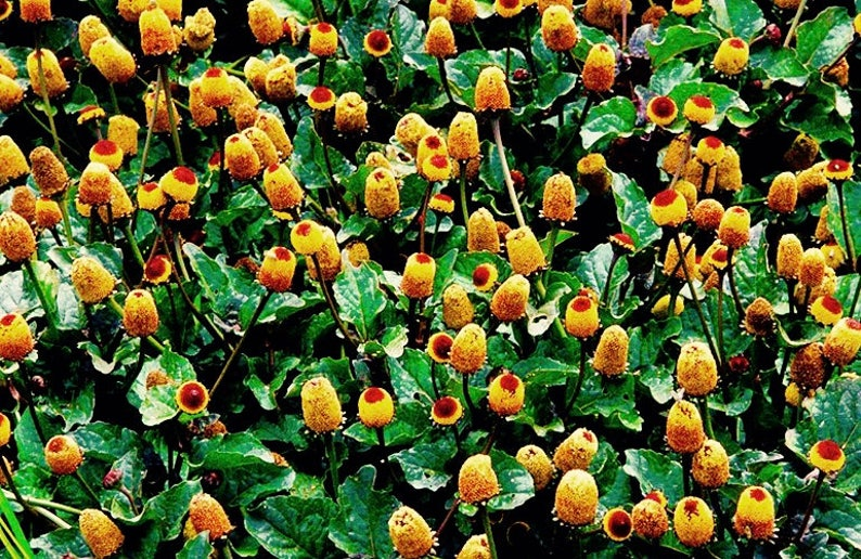 Homegrown Spilanthes, Toothache Plant Extract Tincture - Organic Alcohol