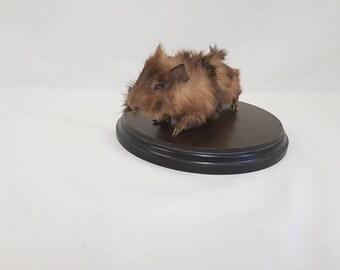 Taxidermy guinea pig