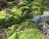 mixed variety pack of moss lichen, terrarium supplies, cushion moss, mood moss, carpet moss, British soldiers, pixie cups,