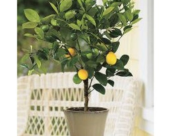 Meyer Lemon Tree, 2-3 Year Old (2-3 Ft), Potted, 3 Year Warranty