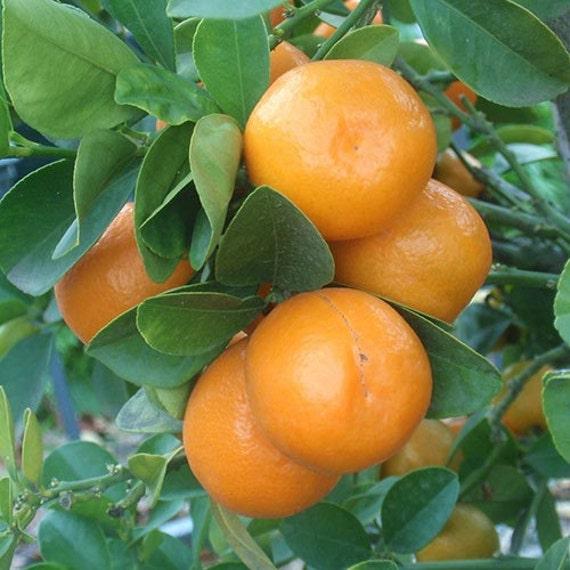Meiwa Kumquat Tree 2 3 Year Old 2 3 Ft Potted 3 Year Etsy