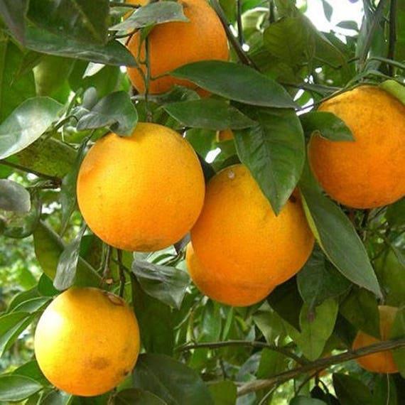Louisiana Sweet Orange Tree 2 3 Year Old 2 3 Ft Potted 3 Year Warranty Free Shipping