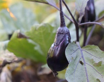 5 Samen Eggplant EXOTISCH und DELIKAT! Aubergine Antigua