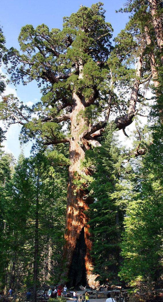 30 graines de Sequoia Géant// Sequoiadendron Giganteum Redwood seeds