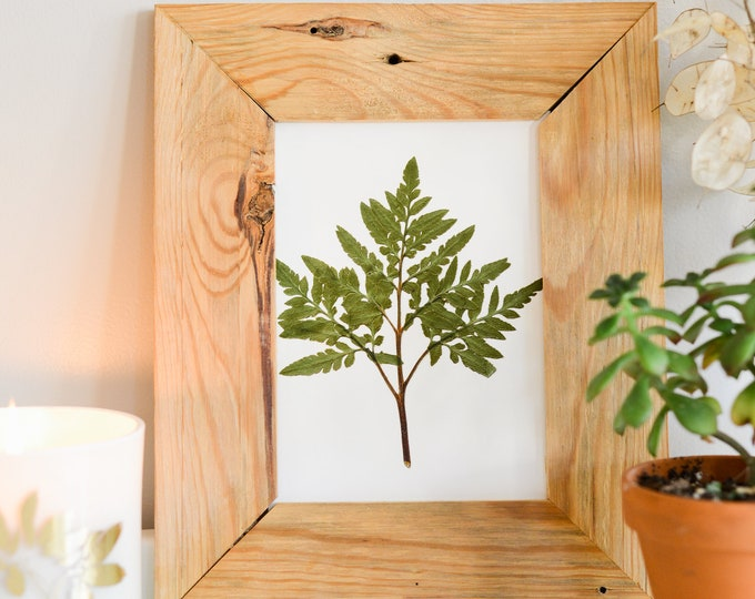 Leathery Grape Fern | Print reproduction artwork of pressed plants | 100% cotton rag paper | Botanical artwork, Greenery