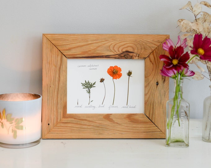 The Lifecycle Collection : orange cosmos | Print reproduction artwork of pressed flowers | 100% cotton rag paper | Botanical Scientific art