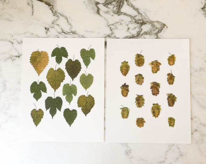 Hops, choice of 2 | Print reproduction artwork of pressed plants | 100% cotton rag paper | Craft Beer, Beer Lover, Botanical