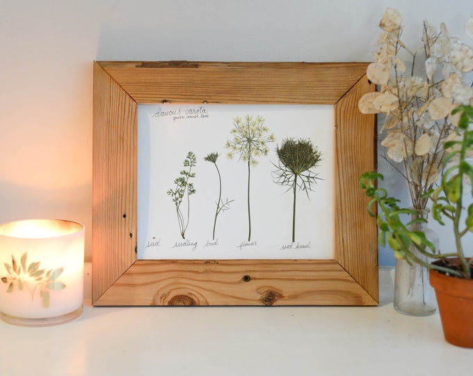 The Lifecycle Collection : Queen Anne's Lace | Print reproduction artwork of pressed flowers | 100% cotton rag paper | Scientific art