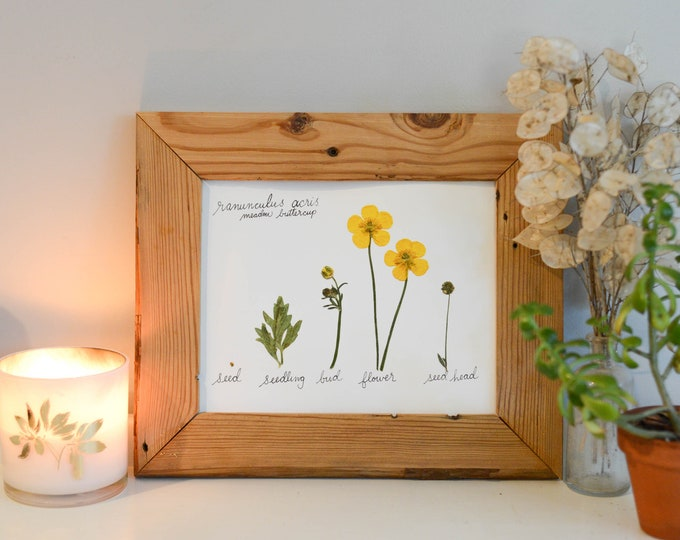 The Lifecycle Collection : Buttercup | Print reproduction artwork of pressed flowers | 100% cotton rag paper | Scientific art