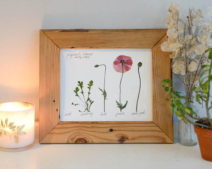 The Lifecycle Collection : Poppy | Print reproduction artwork of pressed flowers | 100% cotton rag paper | Botanical Scientific art