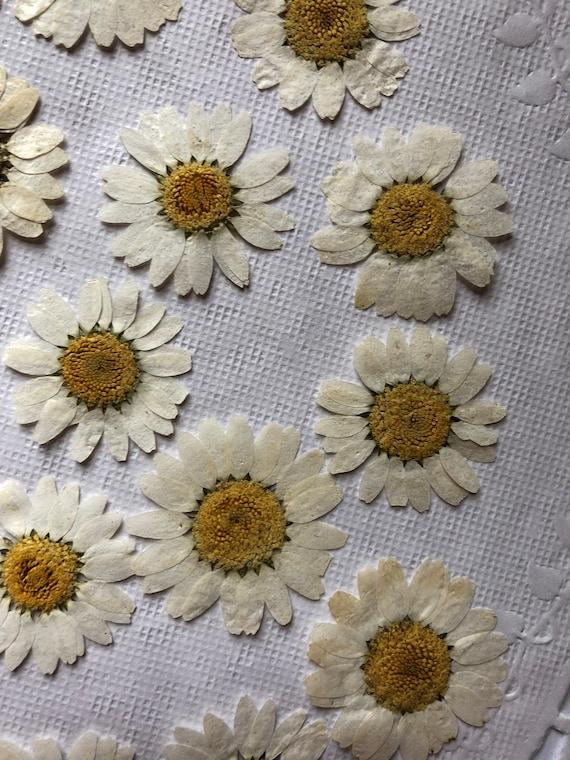 Pressed White Daisy Pressed White Flowers Pressed Daisies Dried White Daisies Pressed White Flowers Pressed Wedding Flower Accent