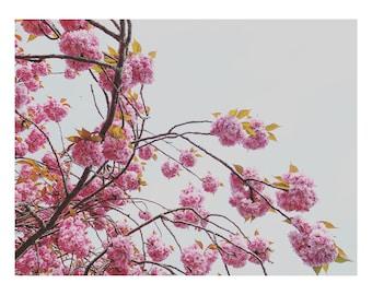 Flowers / Pink / Summer / Bloom / Pretty / Cherry Blossom / In Bloom / Cherry Tree / Minimal / Plant / Wall Print /  Gift Idea / Wall art