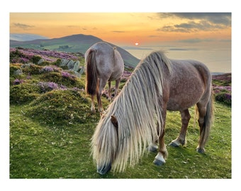 wild horses in conwy have some supper in a huge landscape