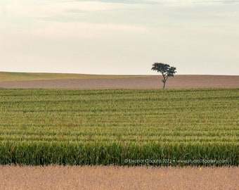 Rows of corn and soybeans with single tree In rural Iowa - Photography by Eleanor Caputo - Prints - Metals - Canvas Wrap - Greeting Card