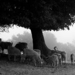Angora Goats Under an Oak Tree - Photography Print