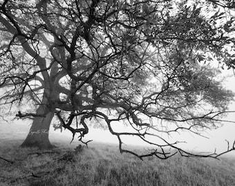 B&W Photography - Oak Tree in Fog Jackson California ll - Photographic Print  - Digital Print - Metal Print - 5x7 Cards