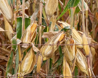Corn Ready For Harvest - Tama County Iowa - Photography by Eleanor Caputo - Prints - Metals - Canvas Wrap - Greeting Card