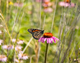 Butterfly on Wild Cornflower, Conrad, Grundy County Iowa - Photography by Eleanor Caputo - Prints - Metals - Canvas Wrap - Greeting Card