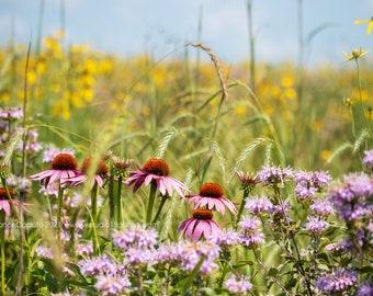 Wild Cornflowers, Rural Conrad Western Grundy County Iowa - Photography by Eleanor Caputo - Prints - Metals - Canvas Wrap - Greeting Card