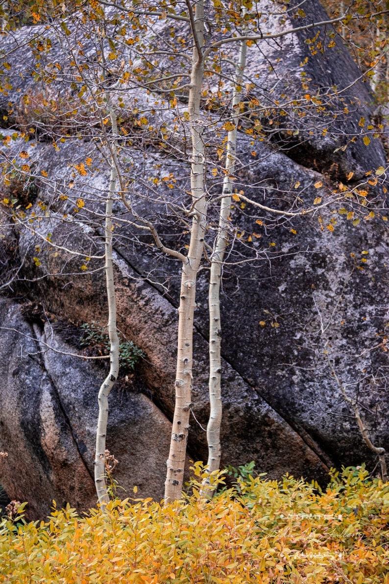 Fall Aspens and Granite Boulder by Eleanor Caputo  Prints  Set of 5 5x7 Cards