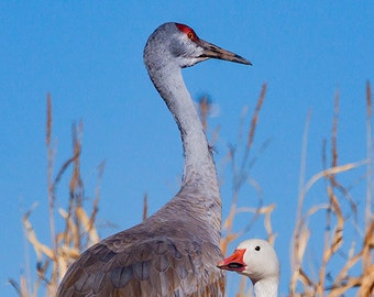 Sandhill Crane and Snow Goose, Bosque del Apache, Whimsical Art, Office Print, New Mexico, Bird Photo, SynVisPhotos, Steve Traudt