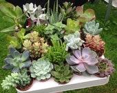 Selection of 10 Mixed Succulent Plants in 5.5cm Pots. Indoor Houseplant Echeveria Crassula Aloe Sedum Wedding Favours Terrarium