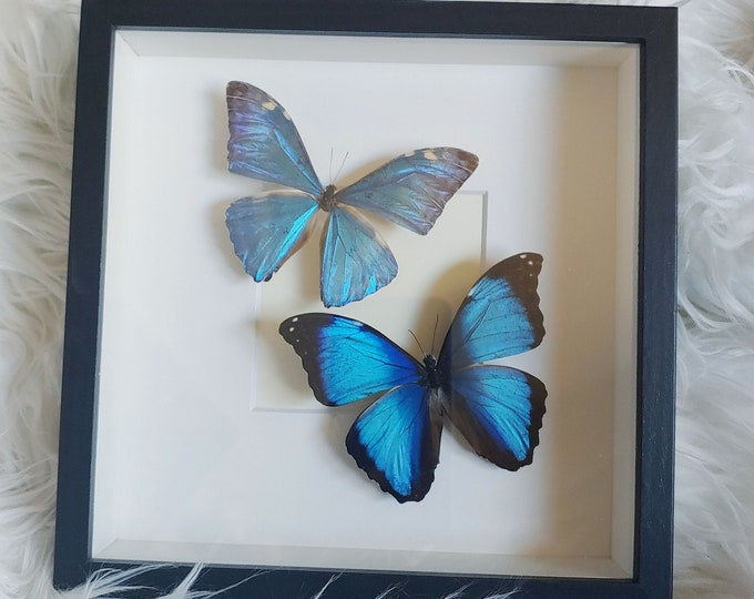 Real Adonis and Deidamia Morpho Butterfly Pair Mounted and Framed - Black Frame