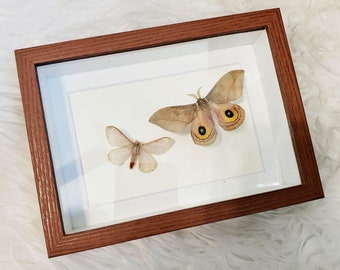 Real Hualapai Buckmoth and Automeris Cecrops Moth pair Mounted and Framed - Brown Frame