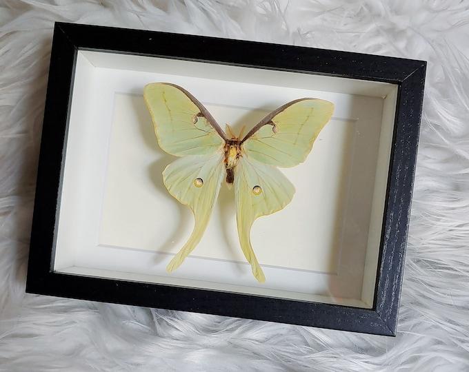 Real Luna Moth Mounted and Framed - Black Frame