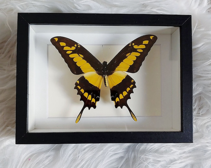 Real King Swallowtail Butterfly Mounted and Framed - Black Frame