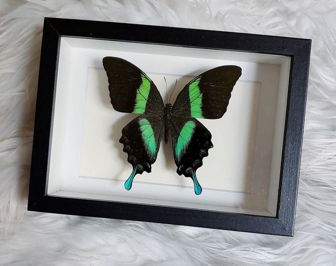 Real Green Swallowtail Butterfly Mounted and Framed - Black Frame