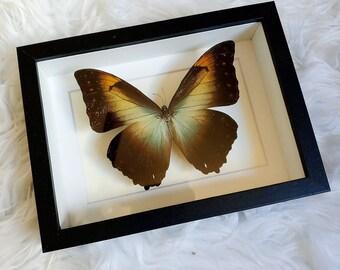 Real Sunset Morpho Butterfly Mounted and Framed - Black Frame