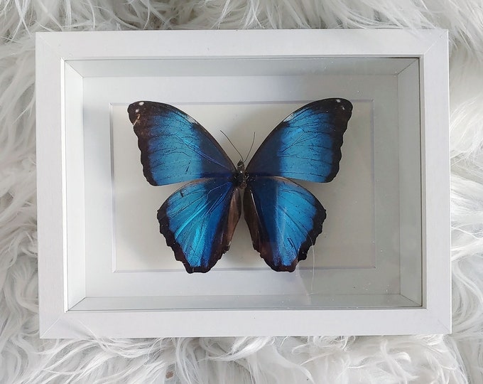 Real Deidamia Morpho Butterfly Mounted and Framed - White Frame