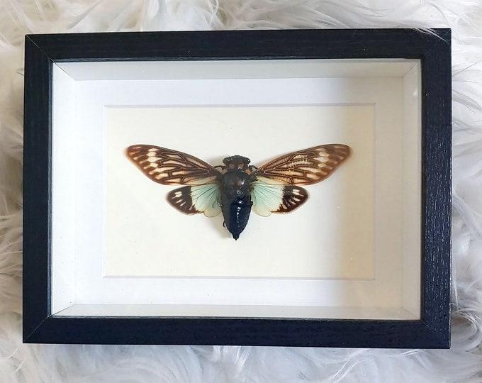 Real Tosena splendida Cicada Wings Spread Mounted and Framed - Black Frame