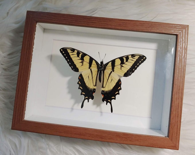 Real Tiger Swallowtail Butterfly Mounted and Framed - Brown Frame