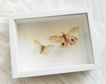 Real Hualapai Buckmoth and Automeris Cecrops Moth pair Mounted and Framed - White Frame