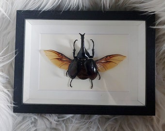 Real Xylotrupes Gideon Rhinoceros Beetle Wings Spread Mounted and Framed - Black Frame