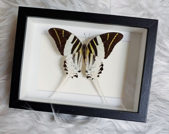 Real King of Swordtails Butterfly Mounted and Framed - Black Frame