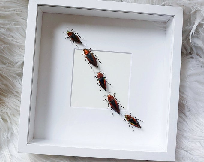 Real Cyphogastra javanica Rainbow Jewel Beetles Mounted and Framed - White Frame