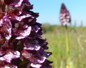 Calming - Flower Essence of Lady Orchid/orchis purpurea
