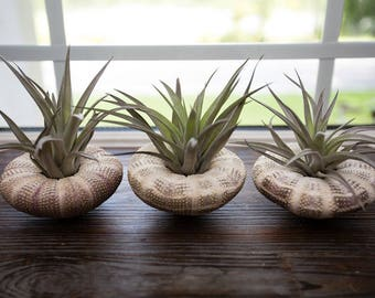 3 Pack Sea Urchin Planter - Large