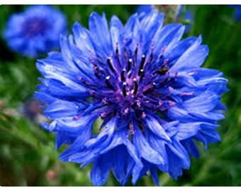 """Le Bleuet graines de Centaurée bleuet  doubles /"""" Boule bleue/"""" fleurs graines"""