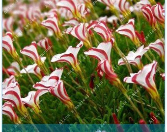 61eeb78982ad1 2 Bulbs True Oxalis Flower Bulbs Rare Oxalis Versicolor Candy Cane Sorrel  Flower (Not Seeds) -Variety 2