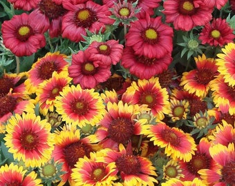 50 graines Gaillardia pulchellla-Couverture Fleur-Sundance-Rouge