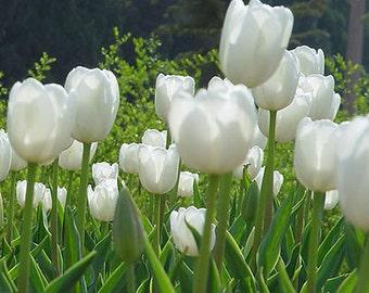 Rare Tulip Bulbs Available White Tulips Fresh Bulbous Root Flowers 10 Bulbs (Item No: 1)