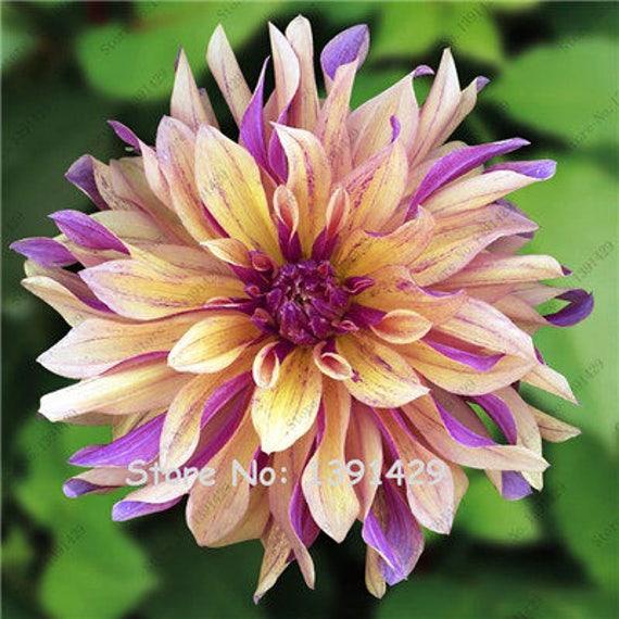 C# US-Seller Rare Beautiful Perennial Dahlia Flowers Seeds 20PCS