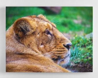 Relaxing Lion - Lion Canvas Wall Art - Lion Art, Lion Canvas, Lion Photography Art, UK Art, Lion Art, Home Decor